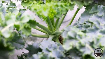 GreenFarmで栽培中のケール