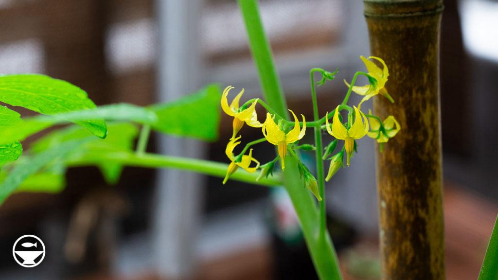 マイクロトマトの開花
