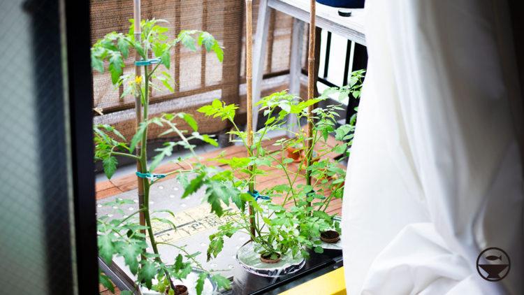 トマトのベランダ栽培